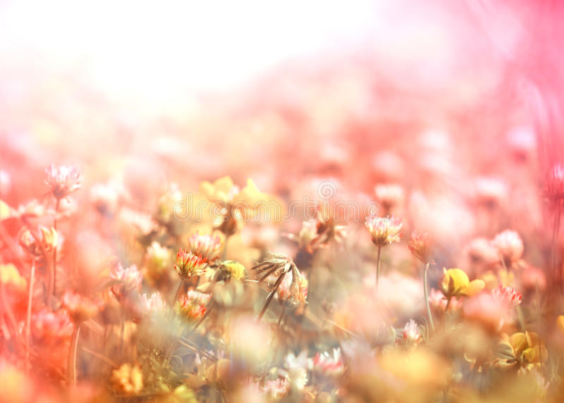 Flowering of white clover in meadow. Between yellow flowers royalty free stock image