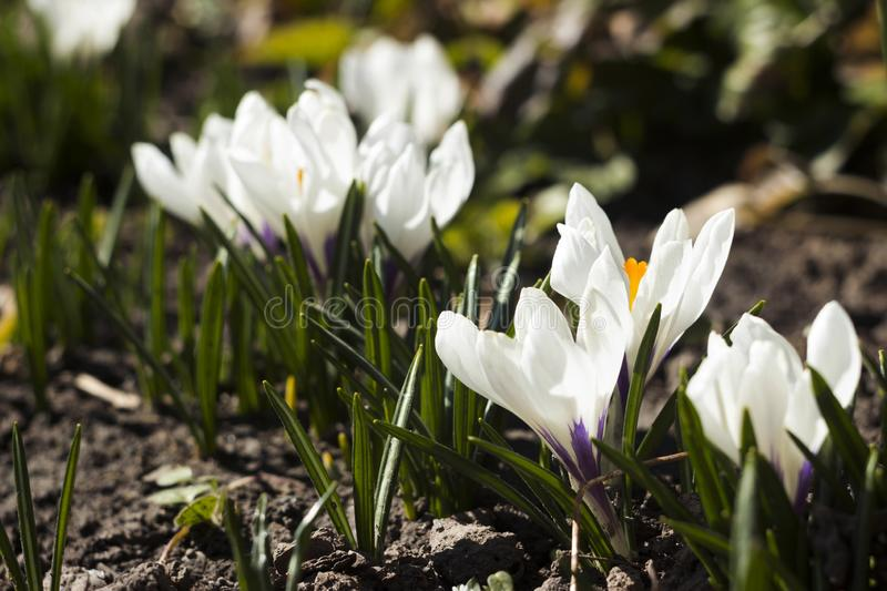 Flowering white crocuses on a Sunny day in the spring. Gentle spring flowers in the sun, background stock photography