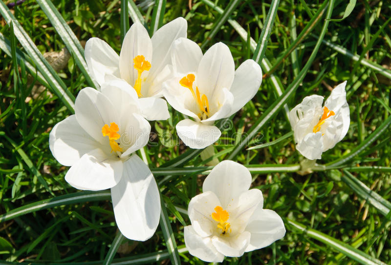 Flowering white Spring Crocus royalty free stock photography