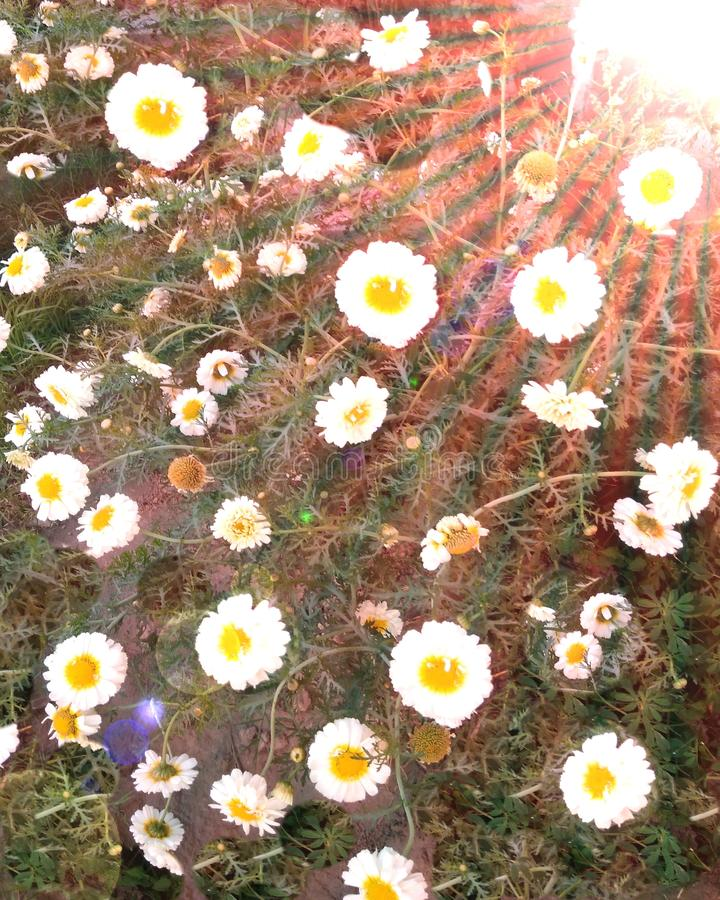 Flowering white yellow  daisies in the garden and sun rise. Painting background royalty free stock images