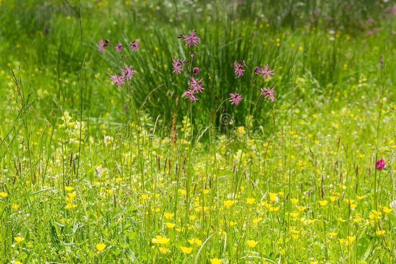 Flowering wild flowers among motley grass growing on alpine meadow royalty free stock images