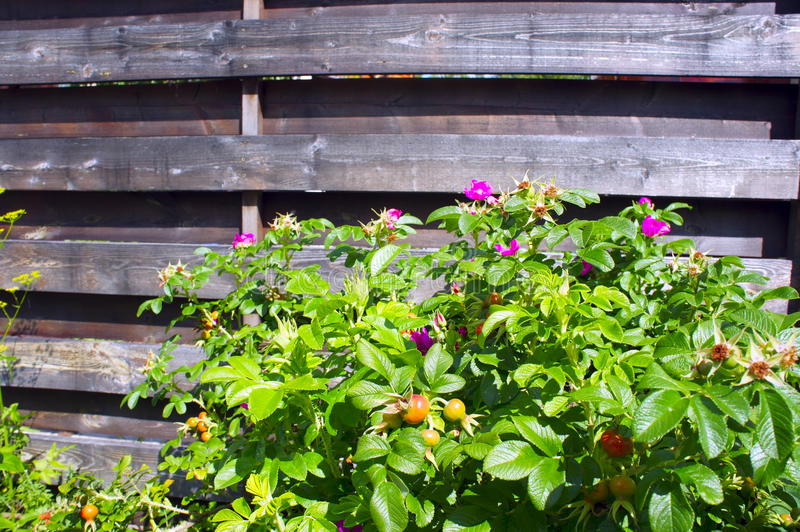 Flowering wild rose on a background of wooden fence royalty free stock photography
