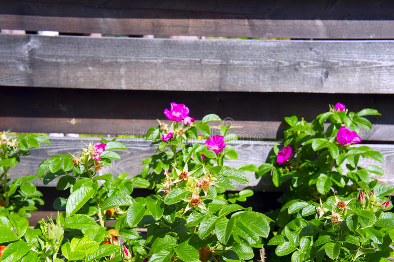 Flowering wild rose on a background of wooden fence stock images