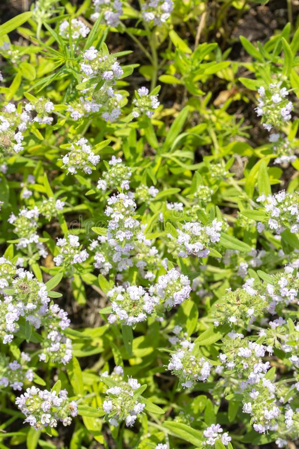Flowering wild thyme, top view. Small blue flowers. Medical edible aromatic herb spice royalty free stock photos