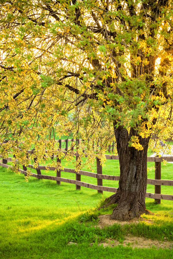 Flowering willow tree in a spring. Sun shining through the willow tree with catkins in the evening stock photography
