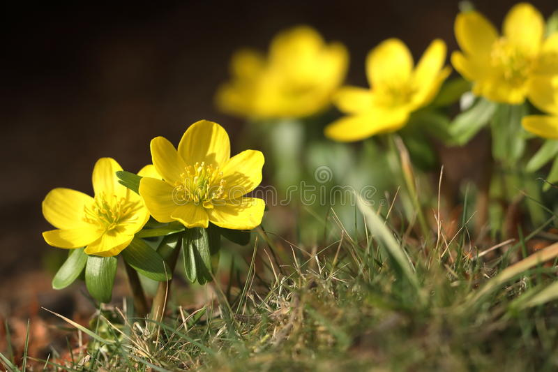 Flowering winter flowers in the spring in late February. A Flowering winter flowers in the spring in late February royalty free stock photos