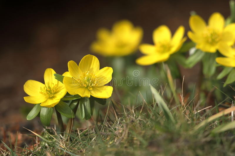 Flowering winter flowers in the spring in late February. A Flowering winter flowers in the spring in late February royalty free stock photography
