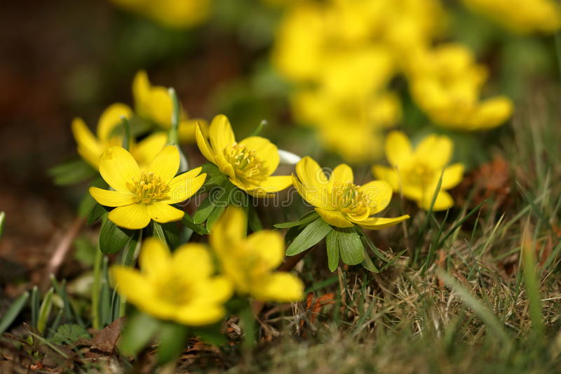 Flowering winter flowers in the spring in late February. A Flowering winter flowers in the spring in late February stock images