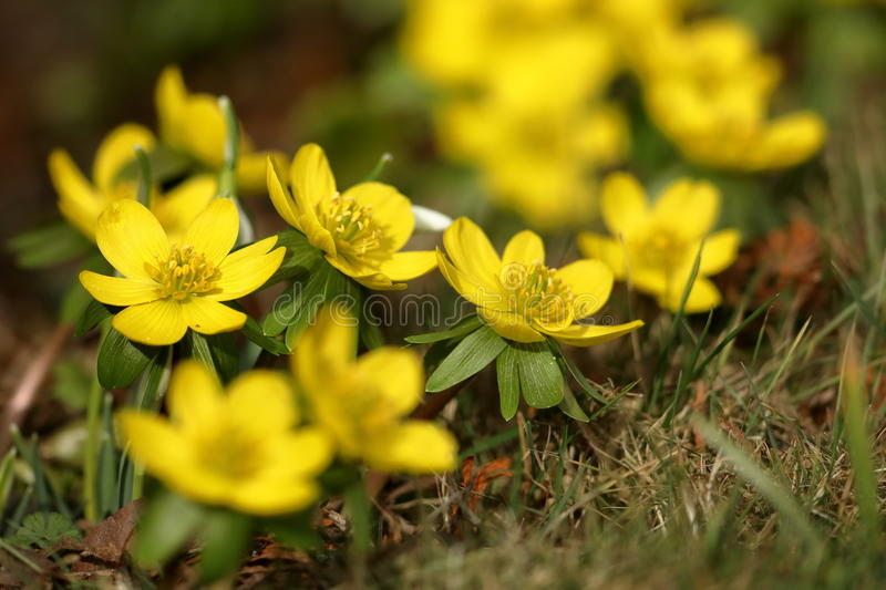 Flowering winter flowers in the spring in late February. A Flowering winter flowers in the spring in late February royalty free stock photo