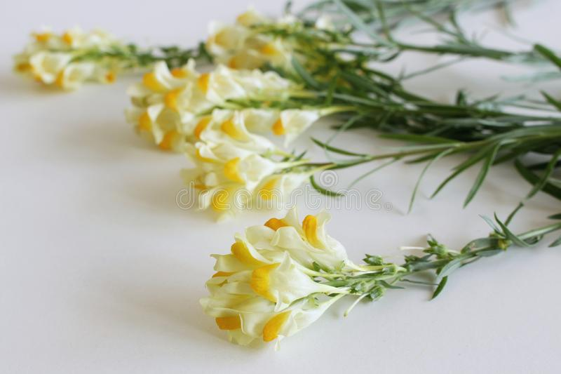 Flowering yellow Common Toadflax ,Linaria vulgaris close up on white background.Medicinal plants, herbs in the nature. He royalty free stock photo