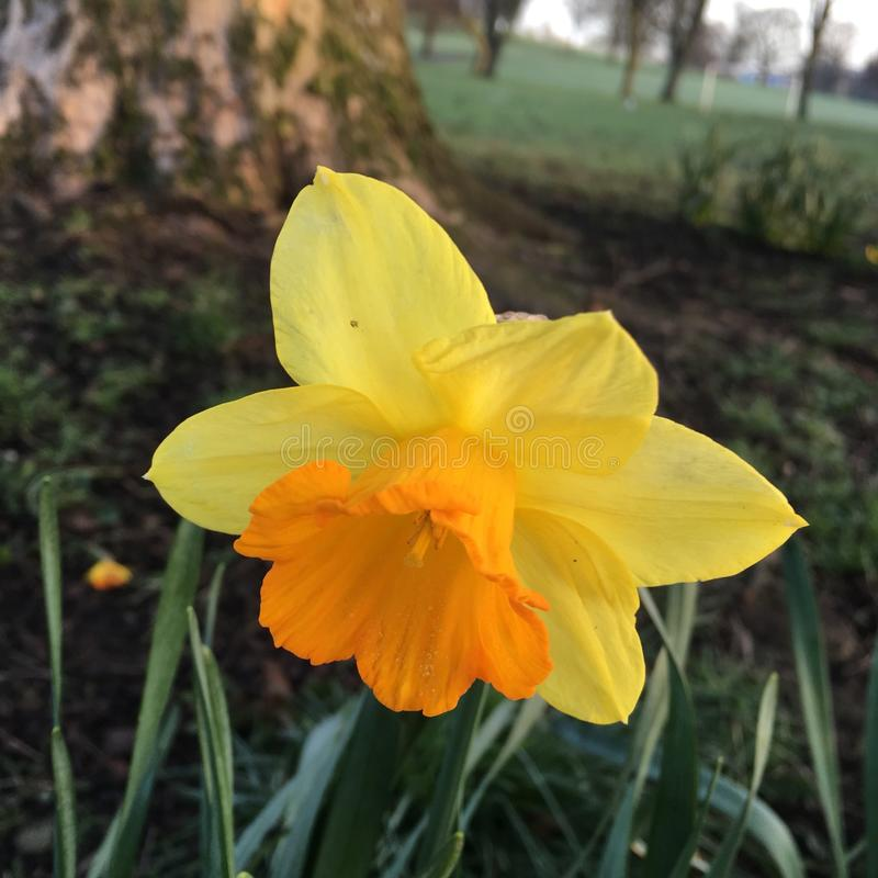 Flowering Yellow Daffodil Narcissus In Spring royalty free stock image
