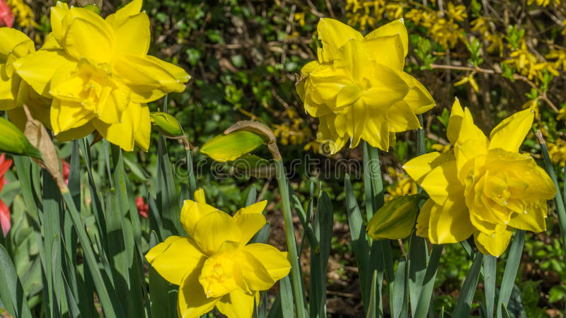 Flowering yellow daffodils in spring royalty free stock photos