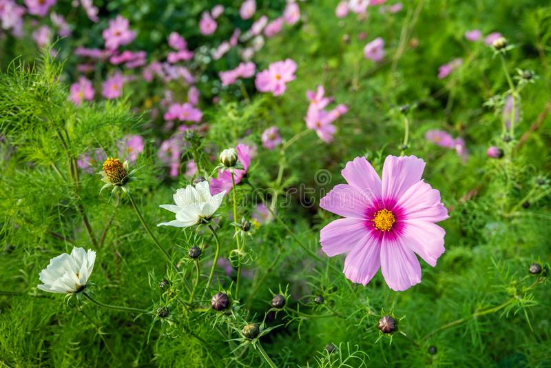 Flowering yellow hearted pink garden cosmos plant at the edge of a Dutch field in the beginning of the fall season stock photography