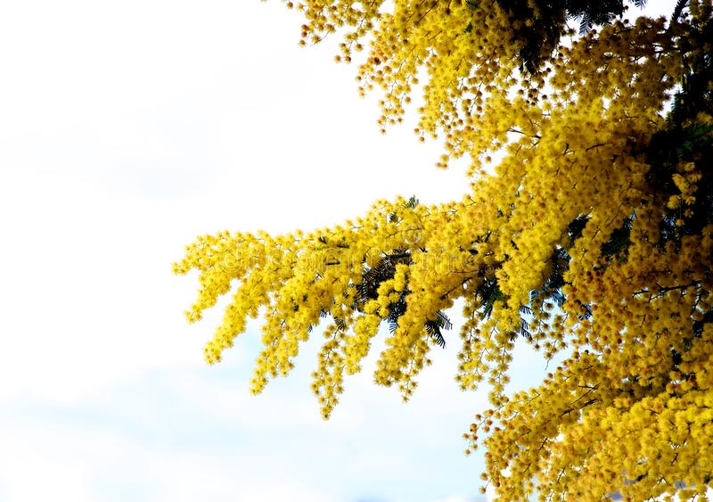 Flowering Yellow Mimosa. Yellow Lush Foliage Flowering Mimosa with Leafs closeup on Natural Blurred background Outdoors stock images