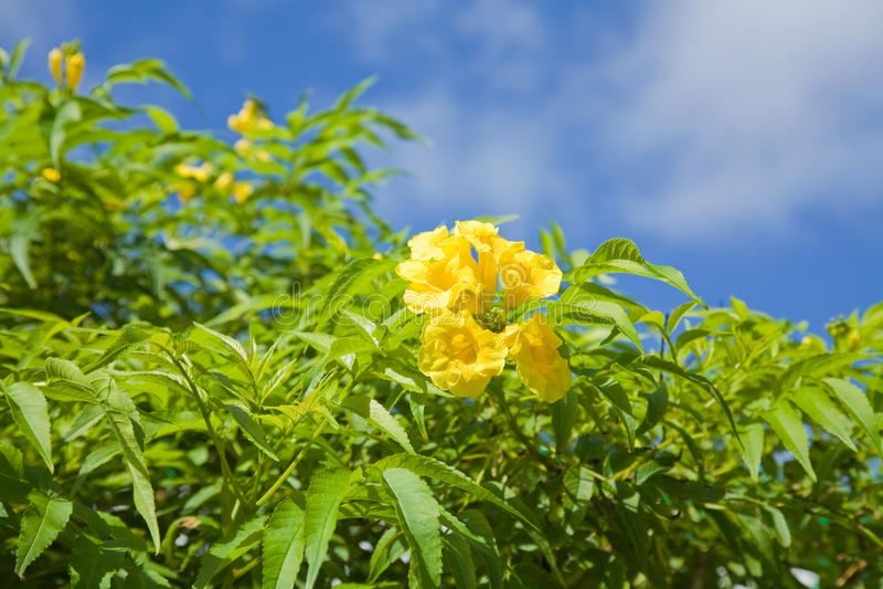 Flowering Yellow Trumpetbush. (Tecoma stans), national flower of The Bahamas stock photos