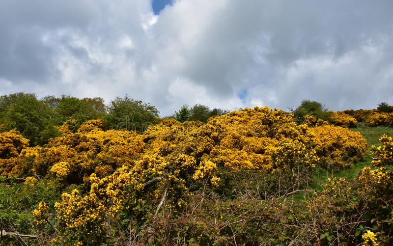 Flowering Yellow Ulex Bushes on a Spring Day. Spring day with blooming yellow ulex bushes in a field stock photo