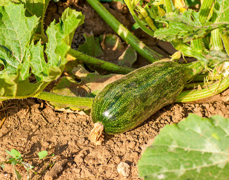 Download Flowering Zucchini In The Vegetable Garden Stock Image - Image: 26343375