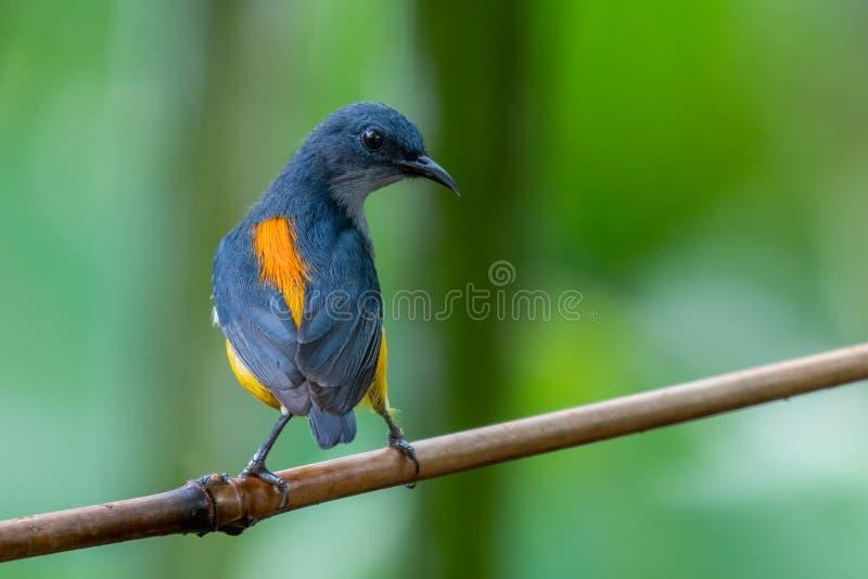 Flowerpecker Orange-gonflé dans la forêt images libres de droits