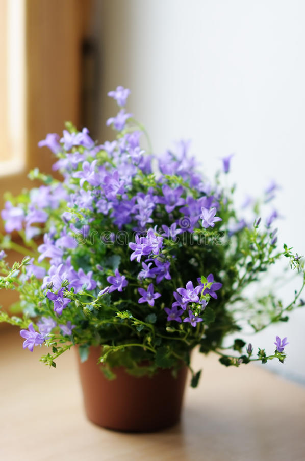 Flowerpot avec des bluebells photo libre de droits