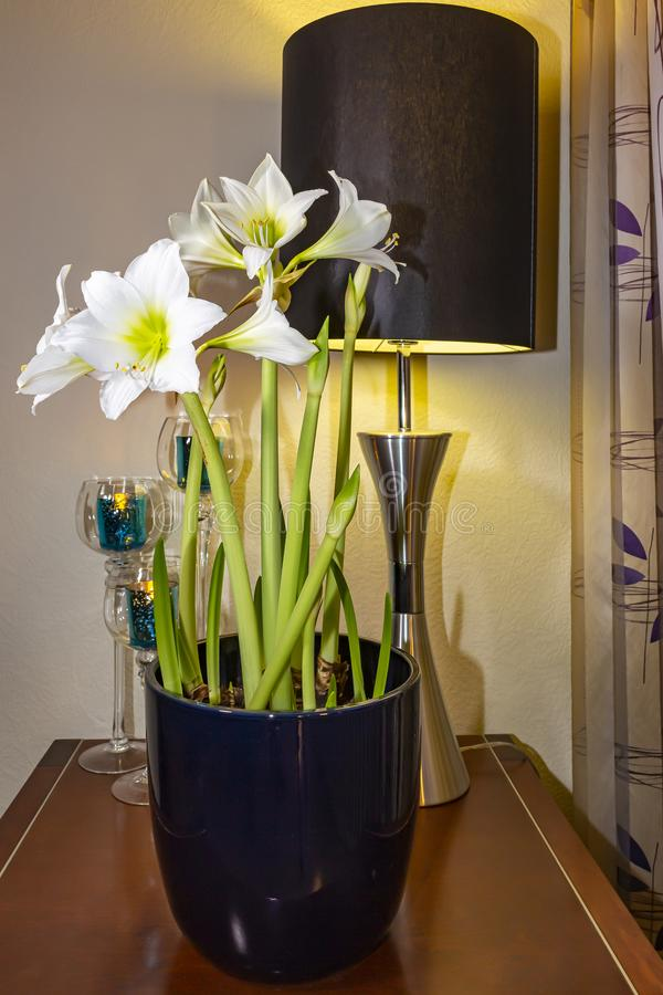 A flowerpot with beautiful white ameryllis in front of candle holders and a lamp with black shade, Zoetermeer, Netherlands.  royalty free stock image