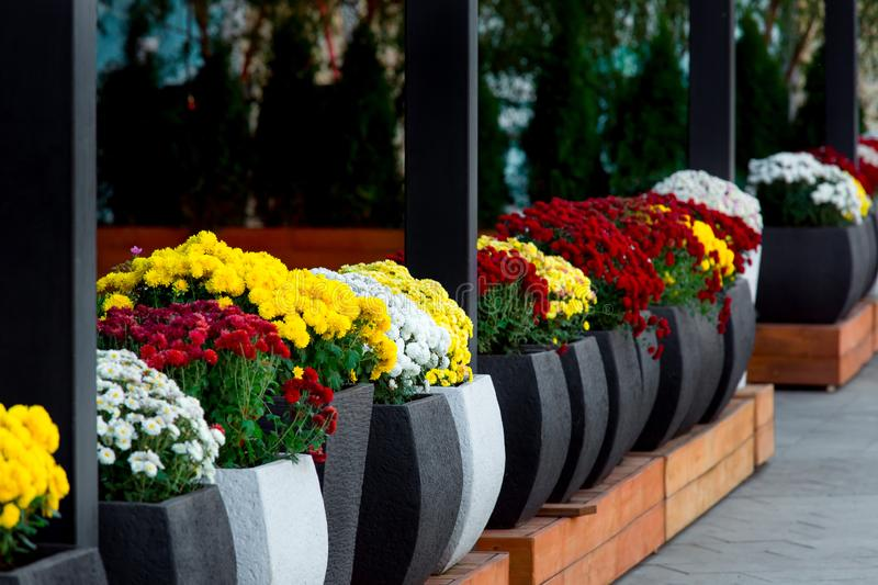 The Flowerpot with blooming flowers. Flowerpot with blooming flowers arranged in a row in dark flowerpots close up, nobody royalty free stock photography