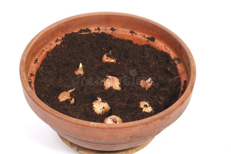 Flowerpot com bulbos fotografia de stock