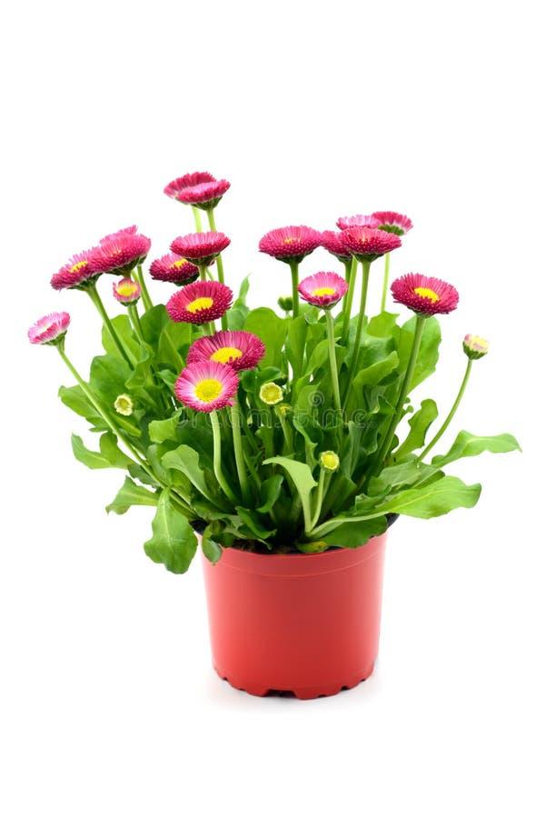 Flowerpot of daisy flowers Bellis perennis stock photo