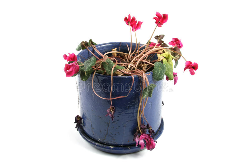 Flowerpot de flores wilted fotos de stock royalty free