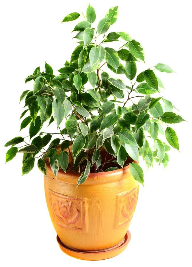 flowerpot ficus стоковые фотографии rf