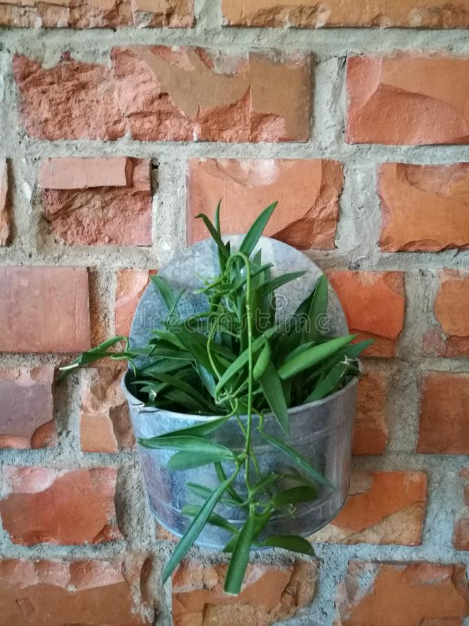 Flowerpot with green plant on the red brown brick block wall background on backyard garden with lighting with blur background, flo royalty free stock photo