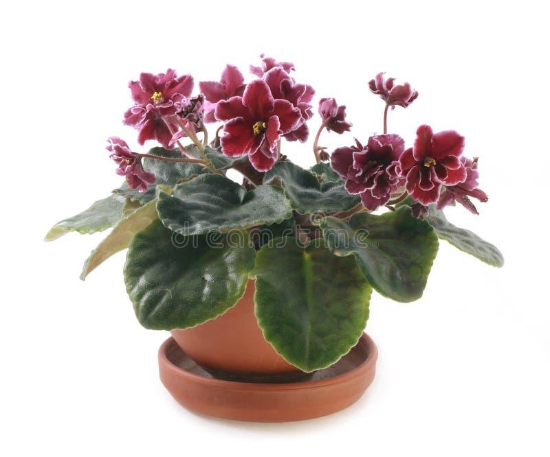 Flowerpot isolado com violeta da flor fotos de stock