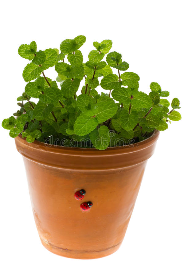 flowerpot miętówka zdjęcie royalty free