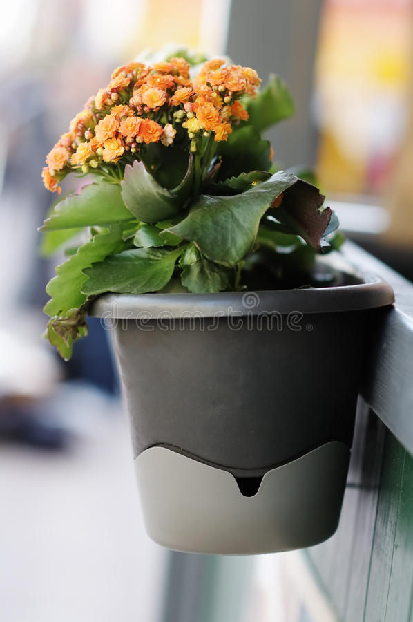 Flowerpot with orange flowers royalty free stock photography