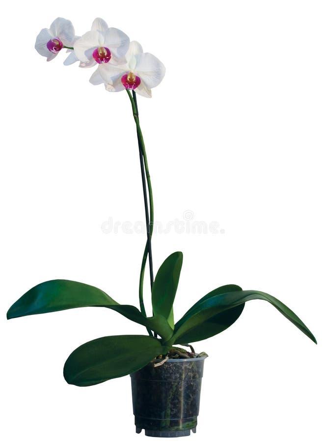 flowerpot orchidea obraz stock