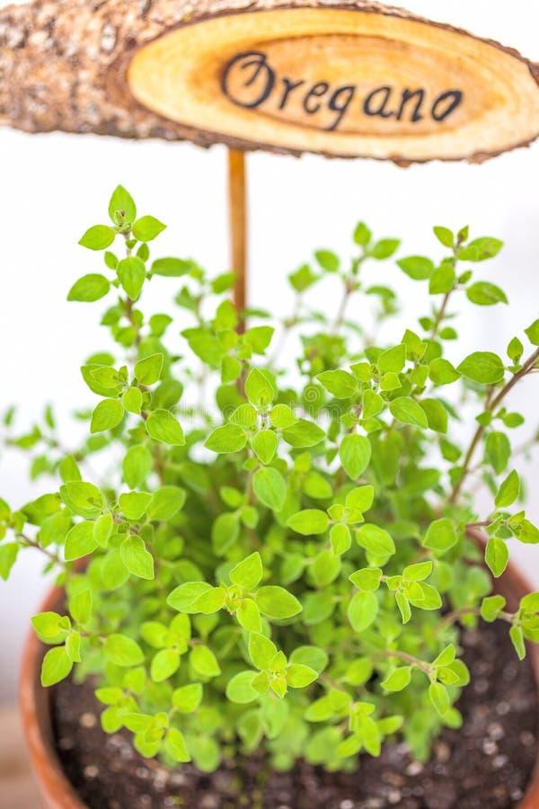 Flowerpot with oregano plant royalty free stock image