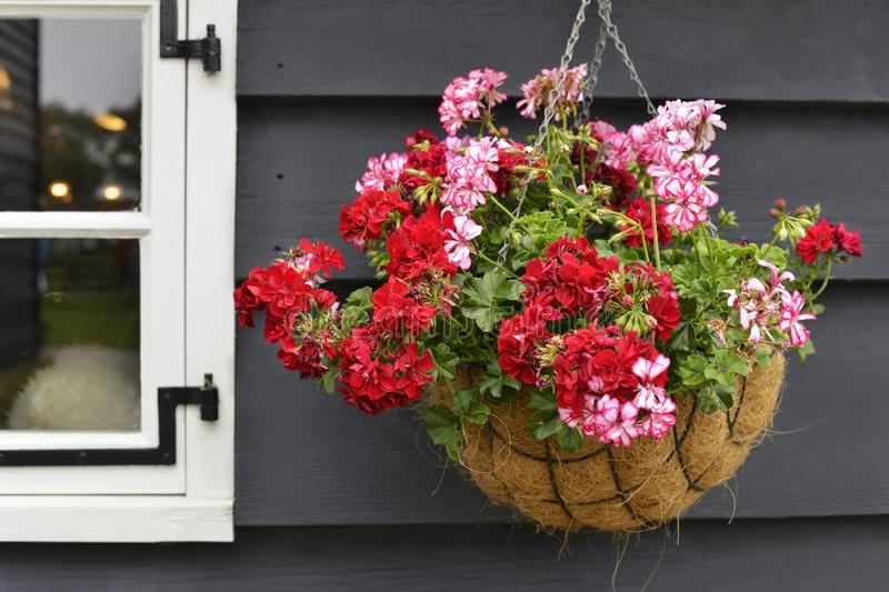 A flowerpot with red flowers. On a background of a gray wooden house stock image