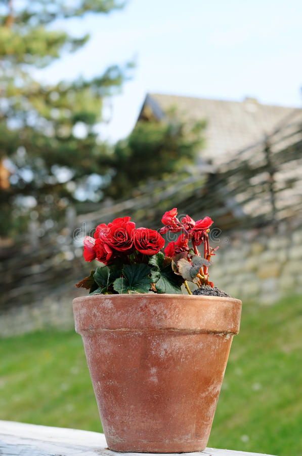 Flowerpot with red roses royalty free stock image