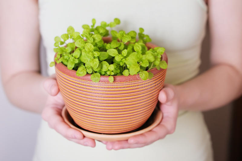 Flowerpot with sprouts stock images