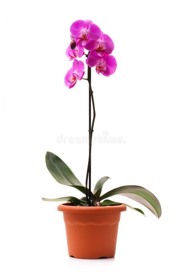 flowerpot storczykowe phalaenopsis menchie fotografia stock