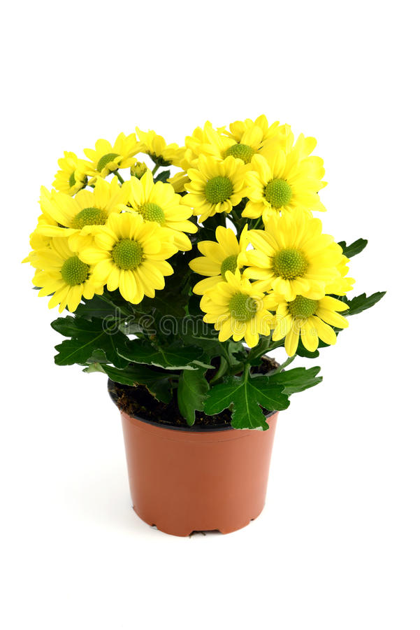 Flowerpot of yellow chrysanthemum flowers.  royalty free stock photography