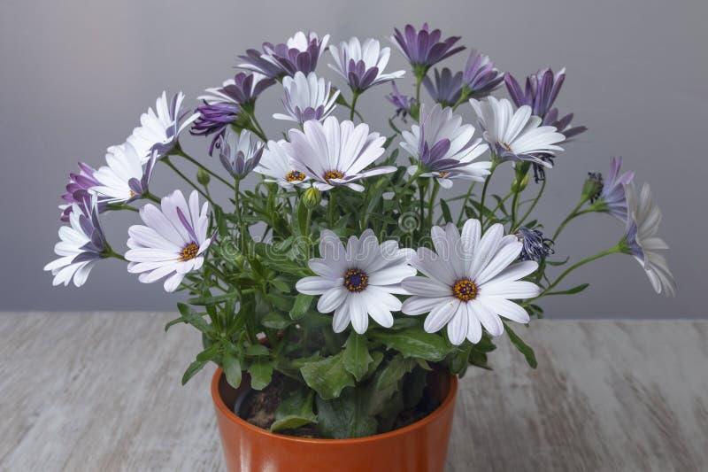 Flowerpot z fiołkowymi stokrotkami obrazy stock