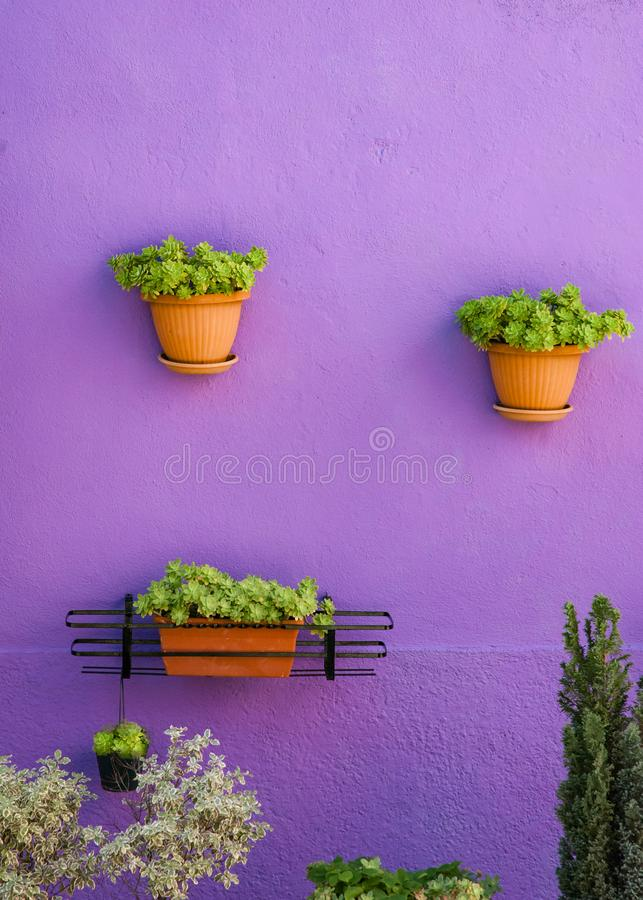 Flowerpots hanging on a violet wall, green flower composition royalty free stock photography