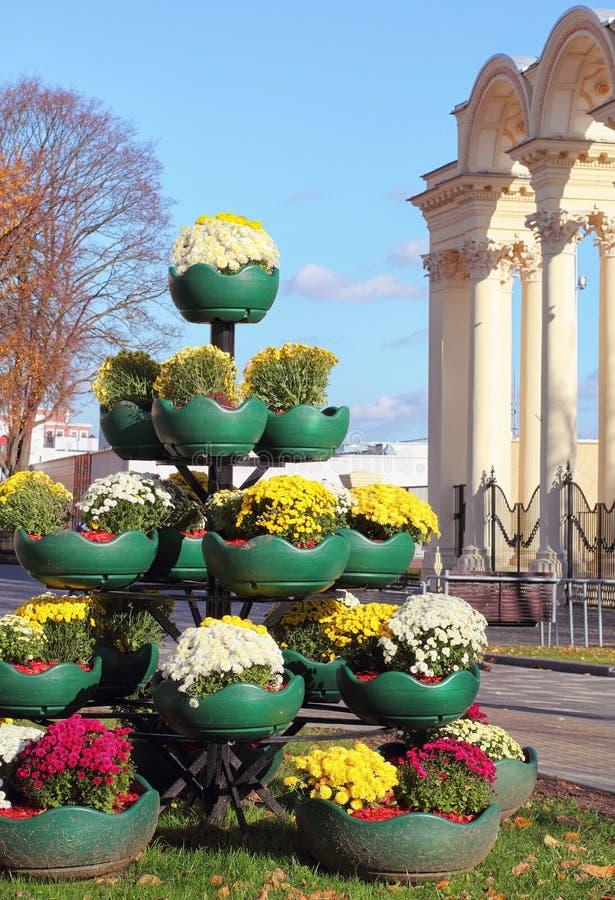 Flowerpots med krysantemum på gatorna i Minsk