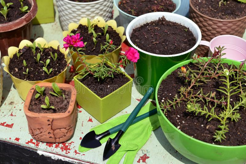 Flowerpots met zaailingen van paardenbloem, gereedschap voor het bewerken van tuintafel buiten stock foto
