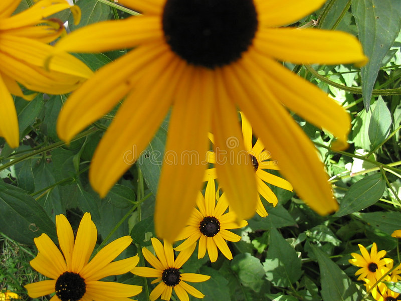 Download Flowers stock photo. Image of closeup, eyed, plant, susan - 9474