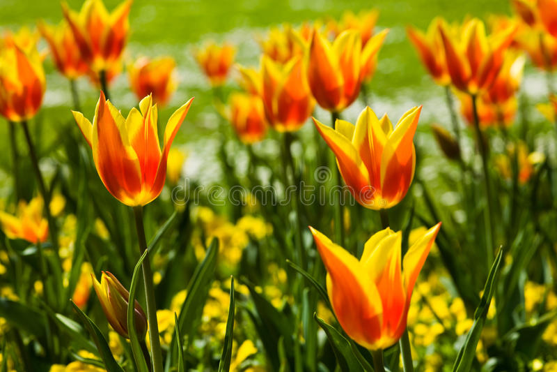 Flowers. A photo of many tulip flowers, horizontal royalty free stock photos