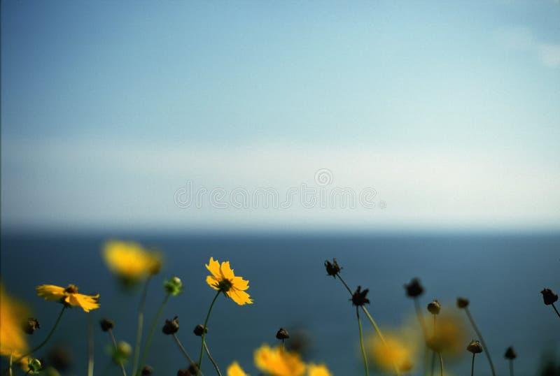 Flowers. Yellow summer Flowers bloomy sea royalty free stock image