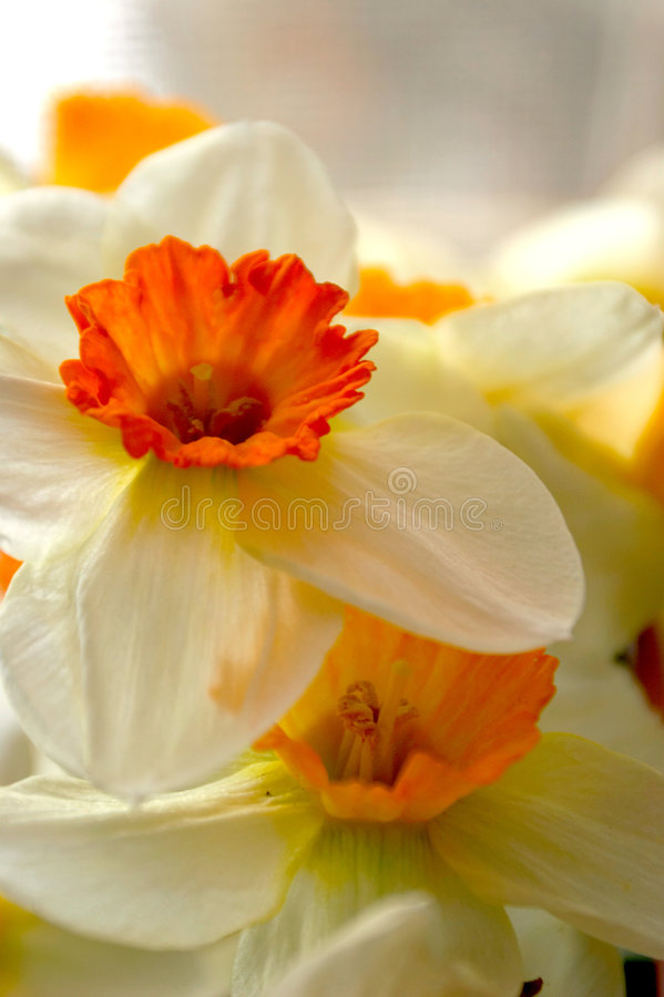Download Flowers stock image. Image of narcissi, botanical, flowers - 911045