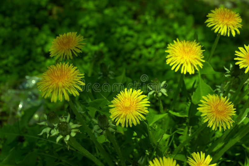 Flowers. Dandelion in spring stock images