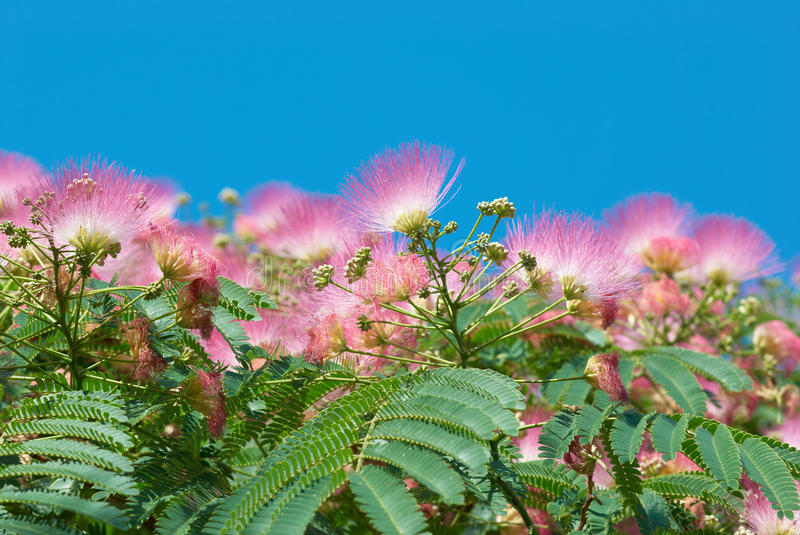 Flowers Of Acacia (Albizzia Julibrissin) Royalty Free Stock Photos